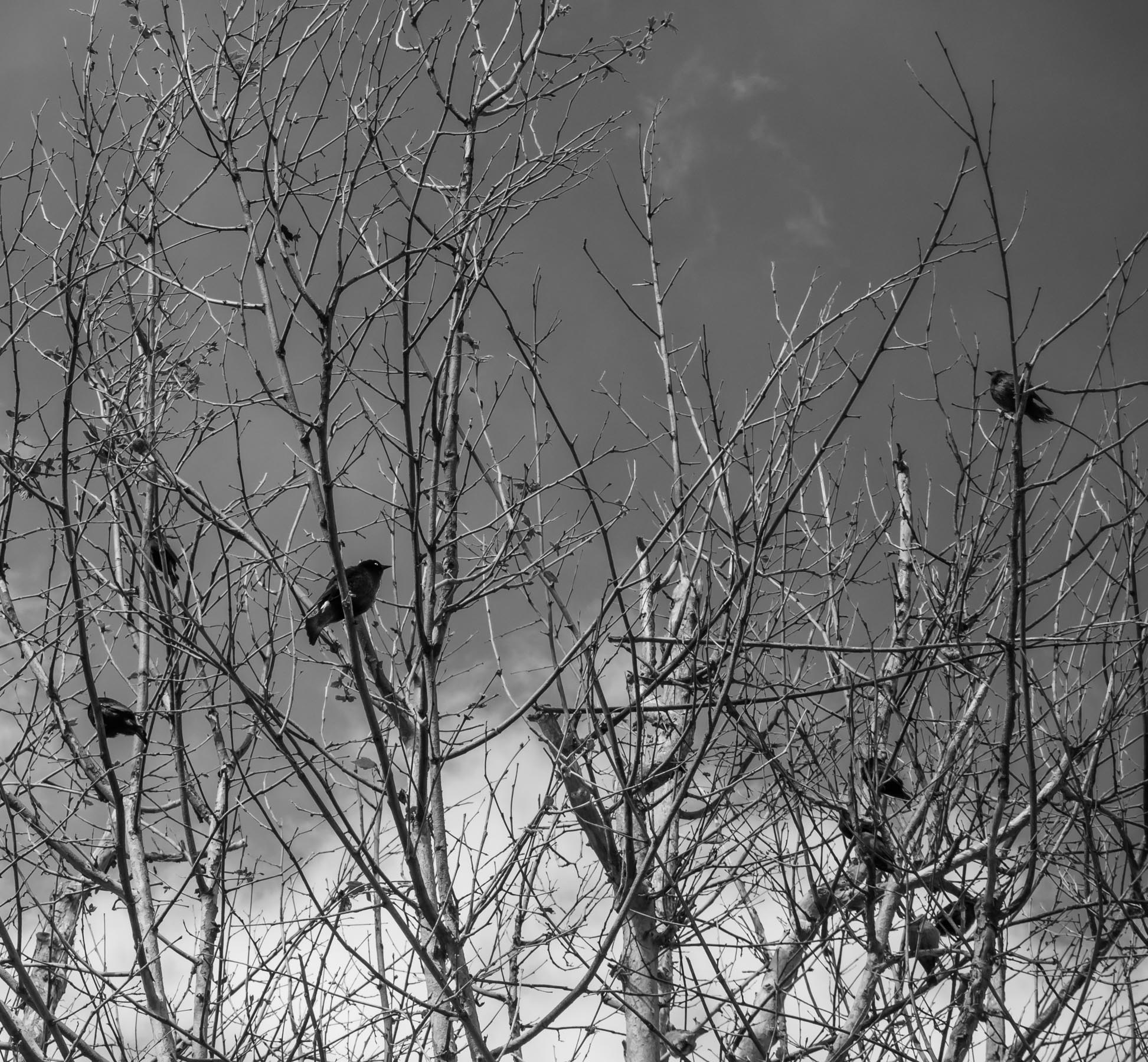 birds_in_tree_20180416-18