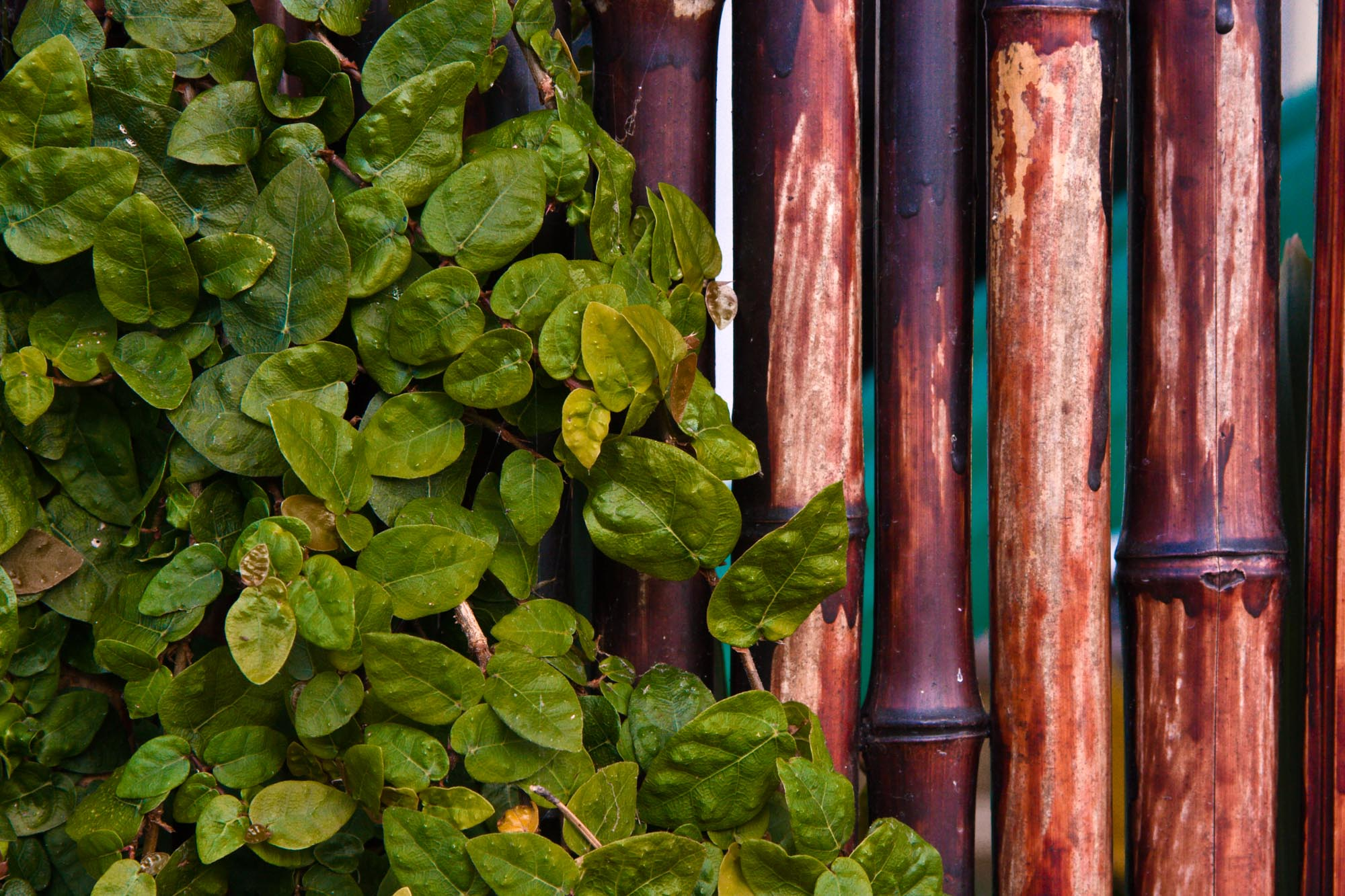 leaves_fence_080625-3