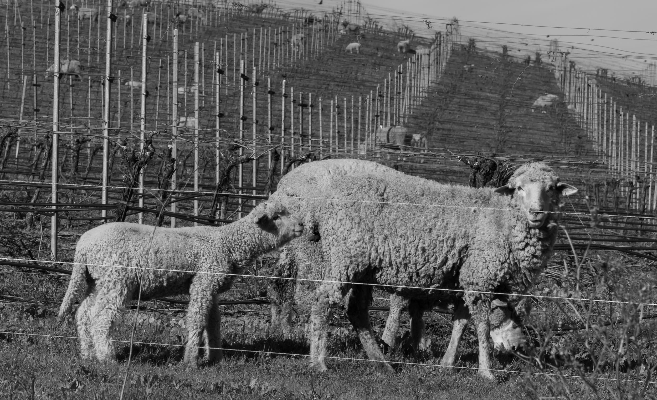 sheep_vineyard_202002-61